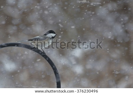 A black capped chickadee sits atop a feeder, bravely facing into the wind on a snowy, blustery Winter morning.
