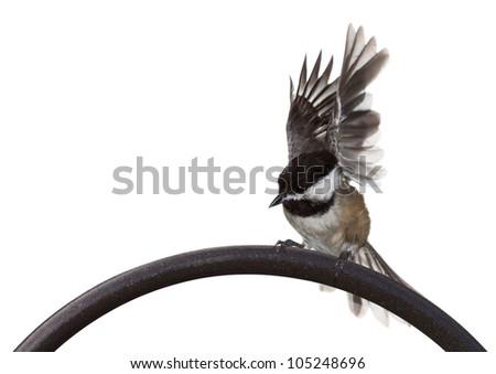 A black capped chickadee thrashes its wings at the start of its take off. bird on arch of iron shepherds hook with a white background. - stock photo
