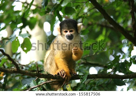 A black-capped squirrel monkey sitting on a rock (Saimirinae Saimiri boliviensis) - stock photo