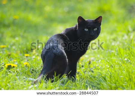 A black cat looking back on a green field - stock photo