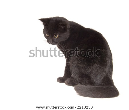 A black cat looks down ready to pounce on a white background