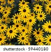 A Black-eyed Susan (Rudbeckia hirta) flowers in the midst of a flower bed. - stock photo