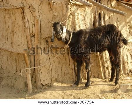 a black goat tied in a typical village scene in india - stock photo
