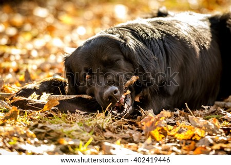 A black Golden retriever and Newfoundland mixed-breed dog looking alert after chewing up a stick.