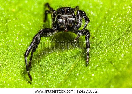 A black Jumping Spider - Eris militaris