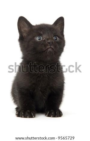 A black kitten sitting on a white background - stock photo