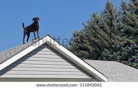 A black lab dog standing on top of his owners house barking to let everyone know he is on guard duty. - stock photo