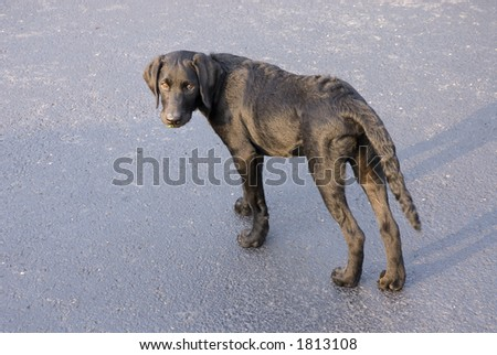 A Black Labrador puppy in the early morning sunshine looks back - Who, me?  I didn't chew on the rose bushes! - stock photo