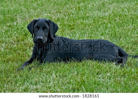 A Black Labrador puppy looks intently at the camera and photographer. - stock photo