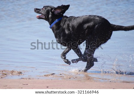 A black Labrador retriever running through the water at the lake with funny long floppy ears - stock photo