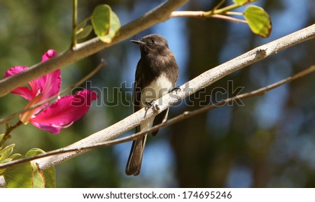 A Black Phoebe alights on the branch of an Orchid Tree. - stock photo