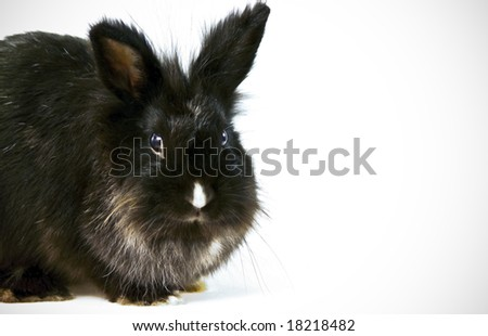 A black rabbit on white