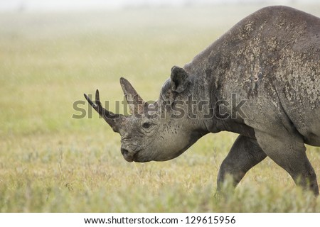 A Black Rhino (Diceros bicornis) walks in the rain at the Ngorongoro Crater in Tanzania