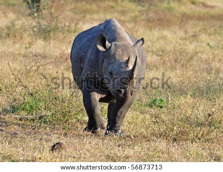 A Black Rhinoceros in the Kruger Park, South Africa. - stock photo