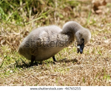 A Black Swan Cygnet eating some bread crumbs in Perth Western Australia - stock photo