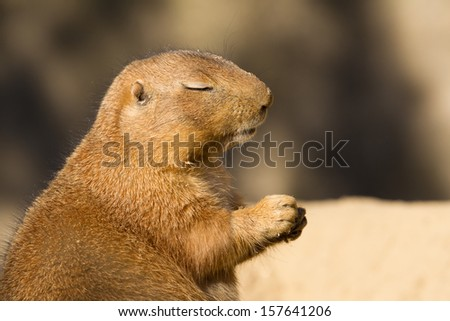 A Black-tailed prairie dog, Cynomys ludovicianus, sitting with his eyes closed - stock photo