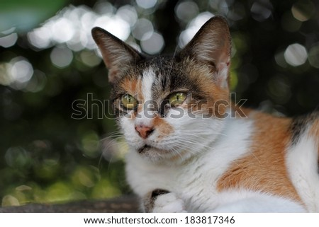 A black, white and yellow cat resting outside. - stock photo