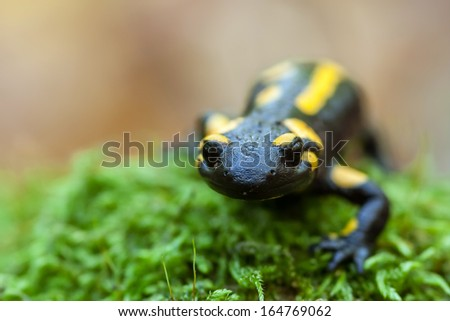 A black yellow spotted fire salamander.  - stock photo
