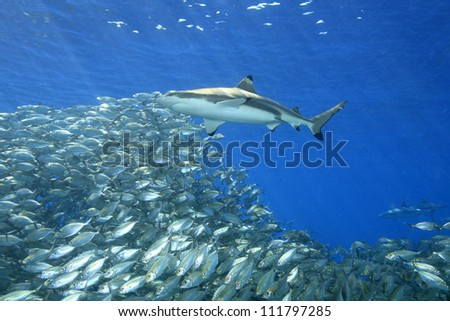 A blacktip reef shark, Carcharhinus melanopterus, swimming above a school of fish with sunbeams slanting through the blue water background. Uepi, Solomon Islands. Solomon Sea, Pacific Ocean