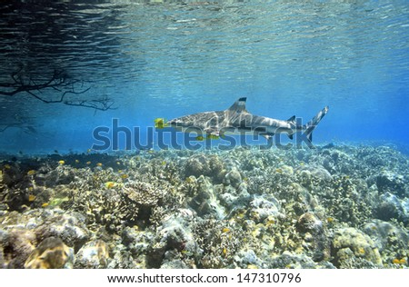 A Blacktip Reef Shark, Carcharhinus melanopterus, swimming over shallow coral reef with five Golden Trevally Pilotfish, Gnathanodon speciosus, Uepi, Solomon Islands. Solomon Sea, Pacific Ocean - stock photo