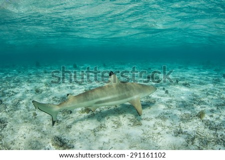 A Blacktip reef shark (Carcharinus melanopterus) cruises in the shallow lagoon of Bora Bora in French Polynesia. Sharks are apex predators on coral reefs throughout the world. - stock photo
