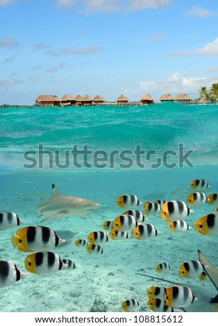 A blacktip reef shark chasing butterfly fish in the shallow water of the lagoon of Bora Bora, an island in the Tahiti archipelago French Polynesia with a  overwater bungalow resort in the background. - stock photo