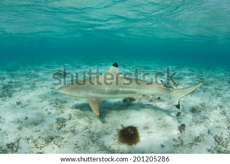 A Blacktip reef shark cruises through the shallows of a lagoon in French Polynesia. This part of the tropical South Pacific is known for its many sharks, fish, and coral reefs. - stock photo