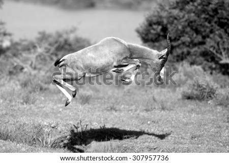 A blesbuck jumping in this black and white photo - stock photo