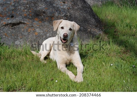 A blonde Labrador dog lies in the grass near a granite boulder. - stock photo