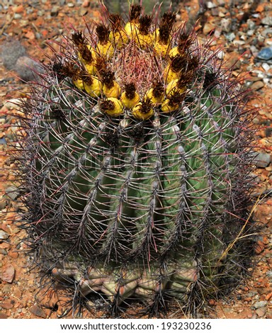 A blooming Barrel or Hedgehog cactus. - stock photo