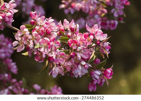 A blooming branch of a pink apple on sunny weather - stock photo