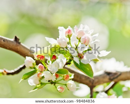A blooming branch of apple tree in spring - stock photo