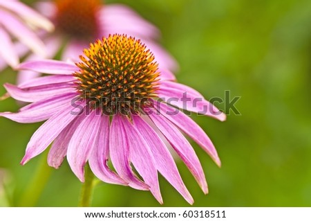 a blooming coneflower, medicine plant of the american native - stock photo