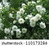 A blooming Jasmine bush with white flowers - stock photo