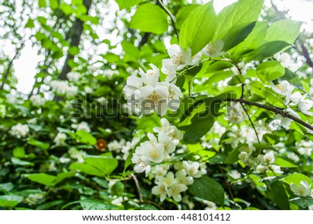 A blooming Jasmine bush with white flowers Background of little white flowers blooming bush White flowers, close-up A jasmine bush in full springtime blossom - stock photo
