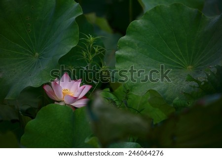 A blooming lotus flower hiding among leaves - stock photo