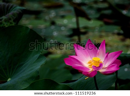 A blooming lotus flower in a green pond - stock photo
