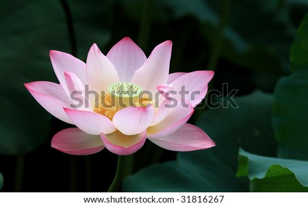 A blooming lotus flower with yellow seed head - stock photo