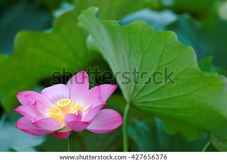 A blooming pink waterlily hiding among green leaves in a lotus pond ~ Close-up of a lovely lotus flower in full bloom - stock photo