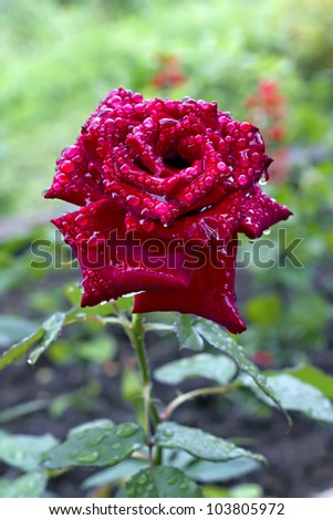 a blooming red rose bud with raindrops in the background - stock photo