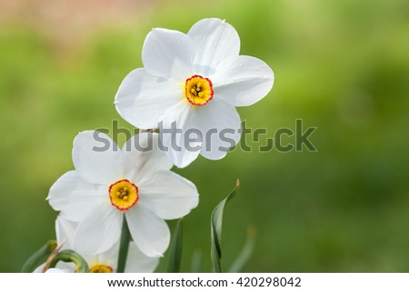 A blooming white daffodil - stock photo