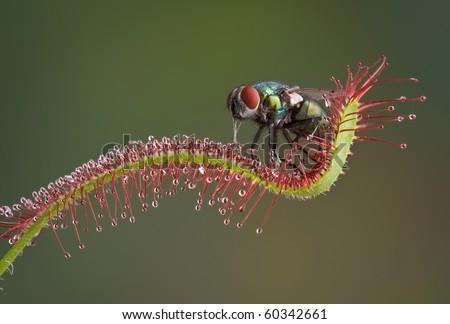 Sundew Plant Images a Carnivorous Sundew Plant