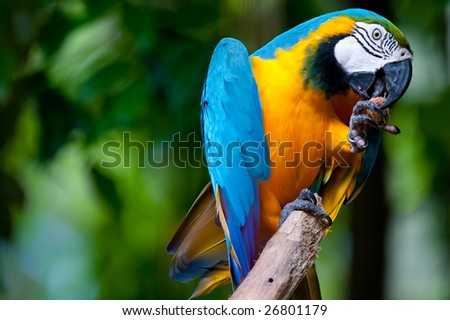 A blue and yellow mackaw parrot - stock photo