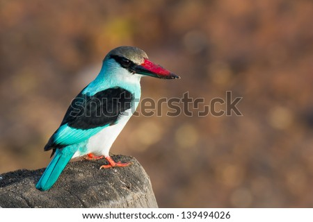 A Blue-Breasted Kingfisher on an old post - stock photo
