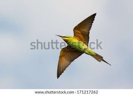 A Blue-Cheeked Bee-Eater (Merops persicus) with underside showing in flight - stock photo