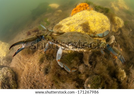 A Blue crab (Callinectes sapidus) scurries across the muddy bottom of a bay in Cape Cod, Massachusetts. Native from the Gulf of Mexico to Canada, this edible species is of great economic importance. - stock photo