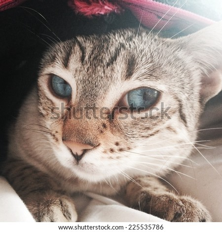 A blue eyed tabby cat hiding under a blanket. - stock photo