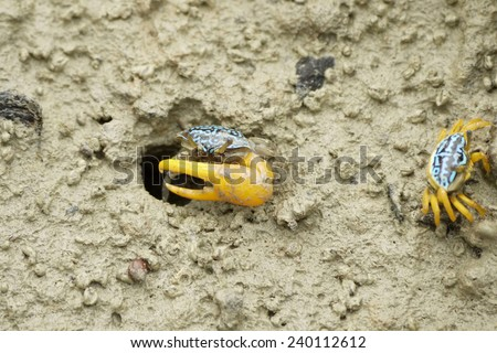 A Blue Fiddler Crab on the beach during low tide in Malaysia - stock photo