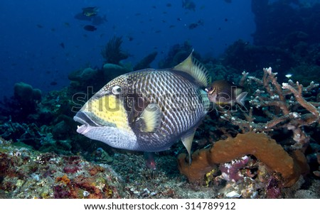A Blue Finned Triggerfish (Balistoides viridescens) with big teeth on a tropical coral reef on black volcanic sand at Tulamben in Bali in Indonesia with blue water background watching camera
