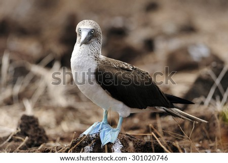 A Blue Footed Boobie  (Sula nebouxii) - stock photo